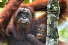 Mother orangutan and cub in a natural habitat. Bornean orangutan Pongo  pygmaeus wurmmbii in the wild nature. Rainforest of Isla. Nd Borneo. Indonesia Stock Photos