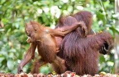 Mother orangutan and cub in a natural habitat. Bornean orangutan Pongo  pygmaeus wurmmbii in the wild nature. Rainforest of Isla. Nd Borneo. Indonesia Royalty Free Stock Image