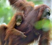 Mother orangutan and cub in a natural habitat. Bornean orangutan Pongo  pygmaeus wurmmbii in the wild nature. Rainforest of Isla. Nd Borneo. Indonesia Royalty Free Stock Photo