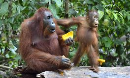 Mother orangutan and cub in a natural habitat. Bornean orangutan Pongo  pygmaeus wurmmbii in the wild nature. Rainforest of Isla Stock Photos