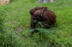 Mother Orangutan and Child Gathering Leaves stock photos