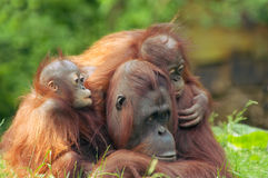 Mother orangutan with her babi stock photos