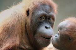 Mother orangutan with her baby Stock Images