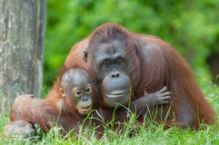 Mother orangutan with her baby royalty free stock photo