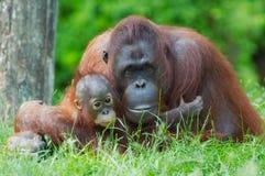 Mother orangutan with her baby stock photos