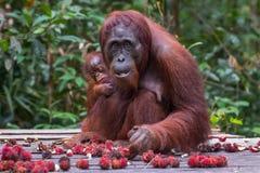Mother orangutan holding her baby and eats rambutan on a wooden Royalty Free Stock Photos
