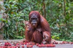 Mother orangutan looks down and eats rambutan and sitting with h Stock Photos