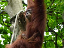 Mother orangutan swinging with baby stock photo