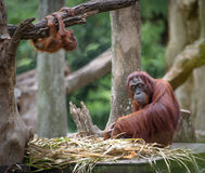 Mother orangutang with its baby Stock Photo