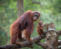Mother orangutang with its little son Royalty Free Stock Images