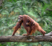 Mother orangutang walking with its baby Royalty Free Stock Photography