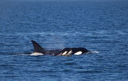 Mother Orca and her calf stock photography