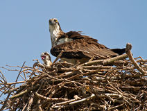 Mother Osprey and Baby. Mother osprey and her baby in the nest Royalty Free Stock Photo