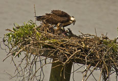 Mother Osprey Feeds Her Baby Chicks, Miles River  Stock Image