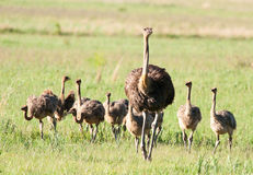 Mother Ostrich ahead of chicks Stock Photos