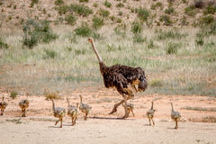 Mother Ostrich with lots of chicks. Mother Ostrich with lots of chicks in the sand in the Kalagadi Transfrontier Park, South Africa Stock Image