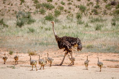 Mother Ostrich with lots of chicks. royalty free stock image