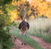Mother ostrich Stock Images