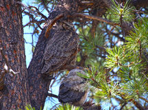 Mother owl and her baby. In a tree in Rocky Mountain National Park royalty free stock photography
