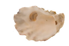 Mother of Pearl. The inside of an oyster shell, isolated on a white background Stock Photography