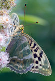 Mother of pearl butterfly. Stock Photography