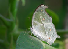 Mother of Pearl Butterfly on The Leaf. Mother of Pearl Butterfly (Salamis parhassus) standing on The Leaf stock images