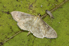 Mother of Pearl Moth Royalty Free Stock Image