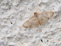 Mother of pearl moth on wall. Stock Photos