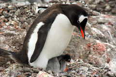 Mother penguin with baby chick Stock Photo