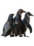 Mother penguin trio bodies Royalty Free Stock Photography