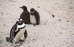 Mother penguin with two kids Royalty Free Stock Image