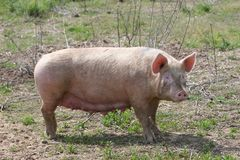 Mother pig. Sow outdoors Stock Image