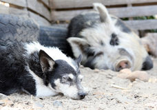 Mother pig asleep by a dog on a farm Royalty Free Stock Photography