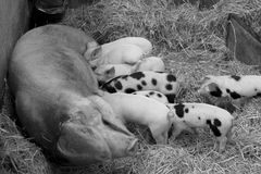 Sow feeding babg piglets. Black and white view of a sow feeding her litter of spotted piglets on straw Royalty Free Stock Photo