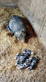 Mother Pig with Baby Piglets royalty free stock image