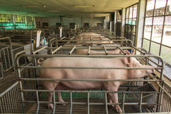 Mother pig breeders Stock Image
