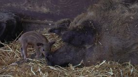 Pig and piglet. Mother pig and her newborn baby piglet on a hay on the farm stock footage