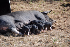 Mother pig nursing piglets Stock Photo
