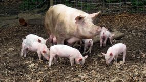 Mother Pig and Piglets. Large mother pig and babies Royalty Free Stock Images