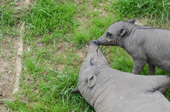 Mother and piglet. A mother and piglet babirusa play in the grass Stock Images