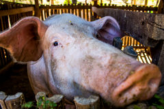 Mother pigs on farms. Royalty Free Stock Photography