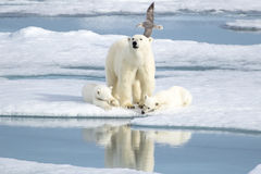 Mother Polar Bear And Two Cubs On Sea Ice Stock Photos