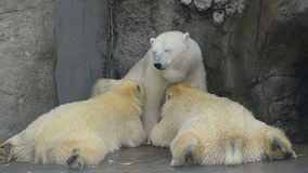 Mother polar bear is brest feeding her adult babies. 1 year old bears stock video