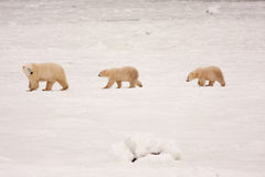Mother Polar Bear and Cubs Walking in a Line. Mother Polar Bear and Two Cubs Walking in a Line in Natural Snowy Habitat Royalty Free Stock Photography