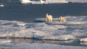 Mother polar bear and her cub on cold ice floe. stock video