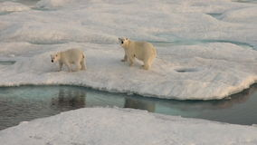 Mother polar bear and her cub on cold ice floe. stock video footage