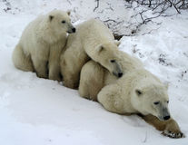 Mother polar bear and two cubs royalty free stock photo