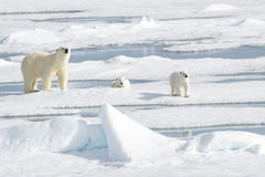 Mother Polar Bear and Two cubs on Sea Ice Royalty Free Stock Image