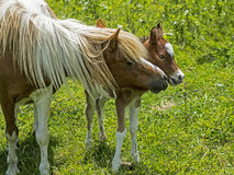 Mother Pony and baby in green grass. Shetland Pony mother with baby royalty free stock photos