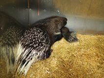 Mother porcupine with a baby lying on a straw bedding stock images